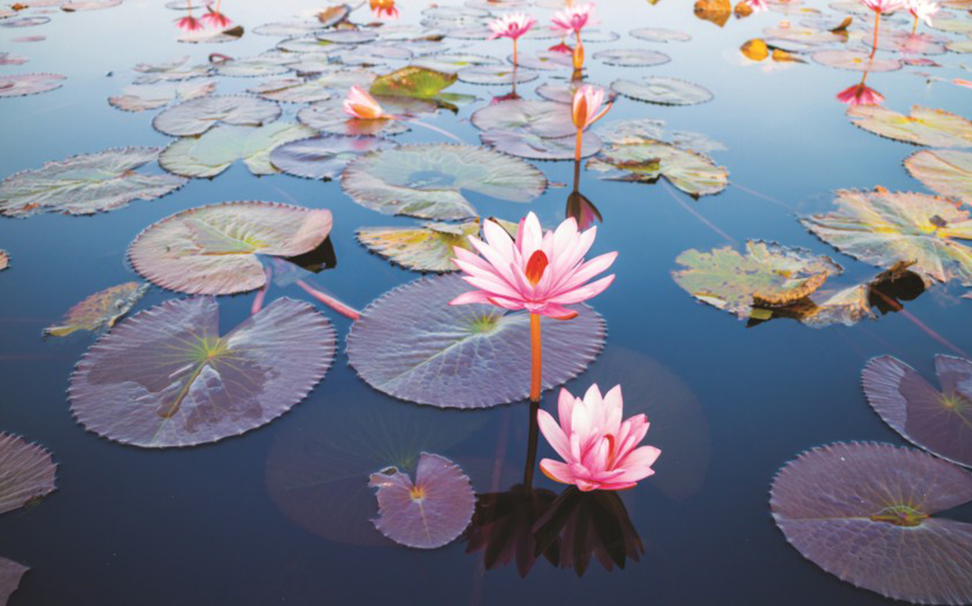 Lotus, the national flower of India symbolizes purity of heart & mind - Marshalls