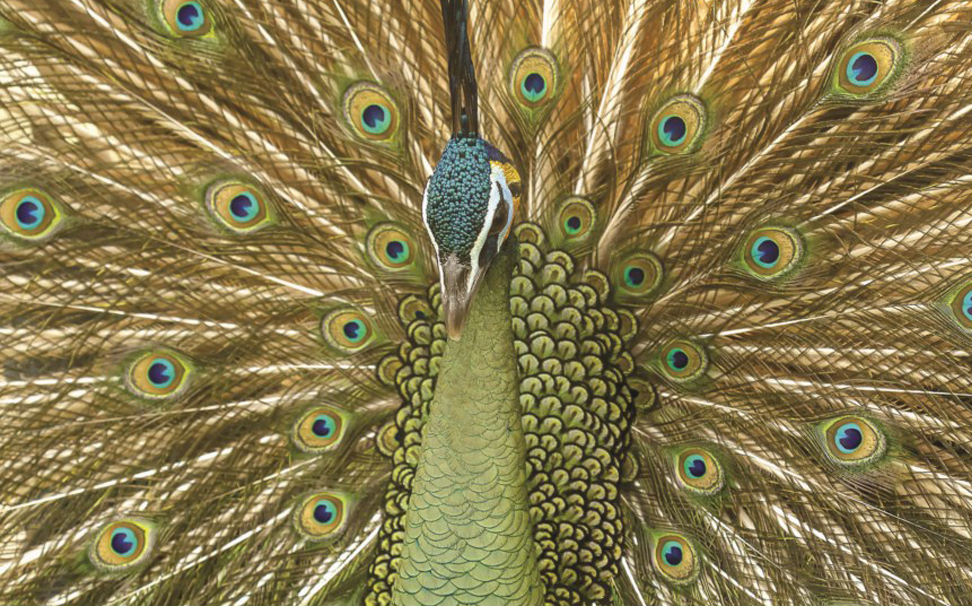 A close up of peacock showing its beautifully colored feathers - Marshalls