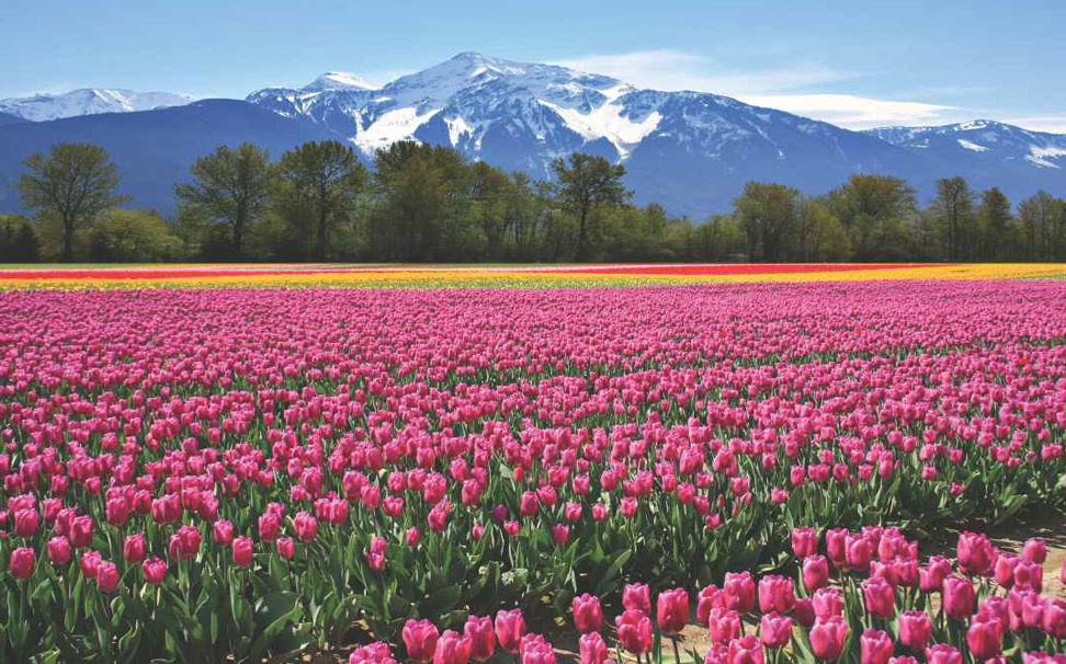 A beautiful scenic view of mountains & pink tulips wallpaper - Marshalls
